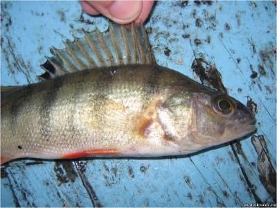 манка для рыбалки видео